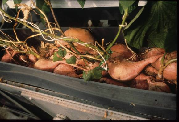 Sweet potato cuttings grown in an Alabama laboratory were flown aboard Columbia to test root growth in microgravity. Courtesy of NASA.